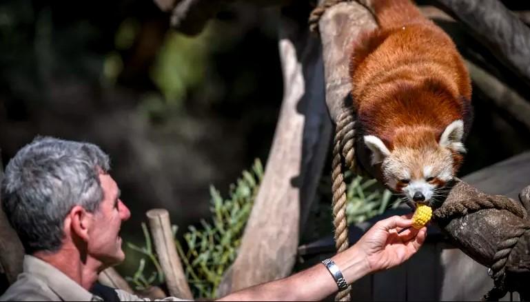 Dr. Michael Lynch, del zoológico de Melbourne en el recinto del panda rojo.