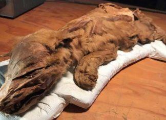 Hallan cría de lobo y caribú de más de 50,000 años