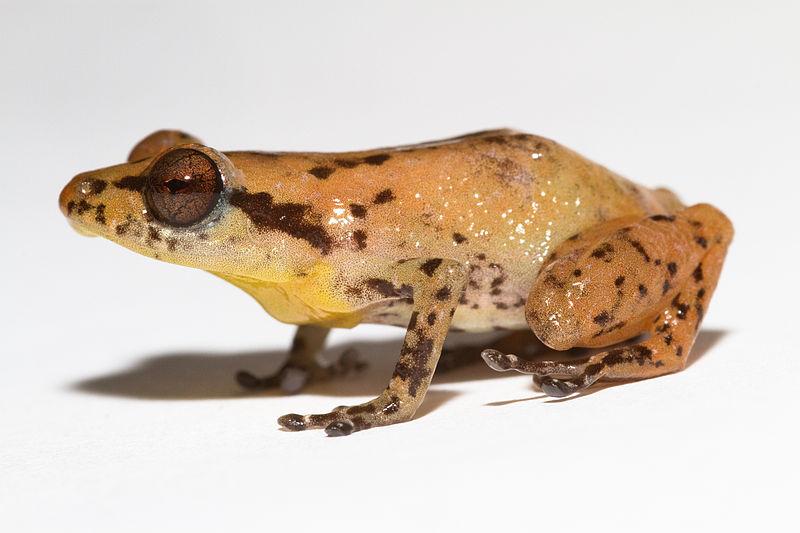 Rana del género Diasporus Diastema