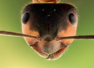 Las hormigas producían antibióticos millones de años antes que los humanos