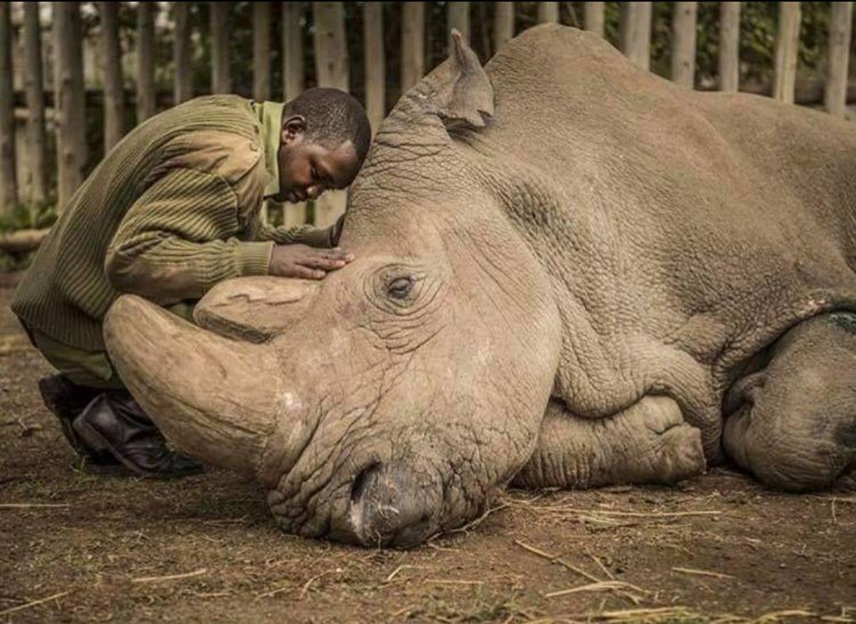El guardián Zacharia Mutai reconforta a Sudán, el último rinoceronte blanco macho del mundo, momentos antes de su muerte.