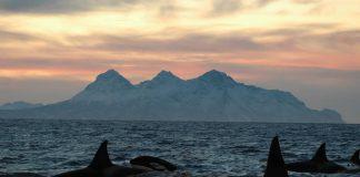 La mitad de las orcas del mundo podrían desaparecer pronto debido a los humanos