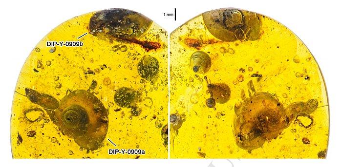 ste caracol encontrado en ámbar de 99 millones de años es el más antiguo conocido con tejidos blandos conservados.