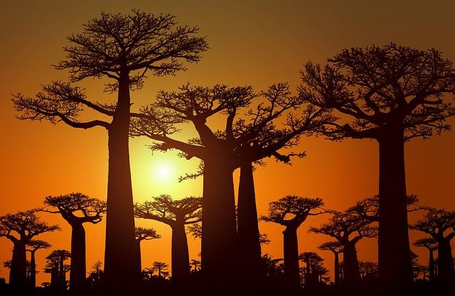 Los baobab están muriendo