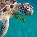 Estudio revela el poco plástico que se necesita para matar una tortuga marina