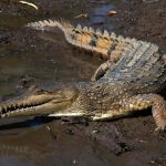 Científicos identifican una nueva especie de cocodrilo en 85 años