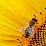 Científicos analizan comportamiento de las abejas durante un eclipse