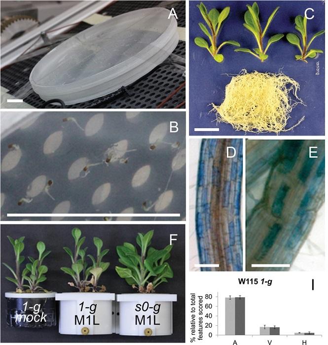Micorrización y desarrollo de Petunias en Microgravedad