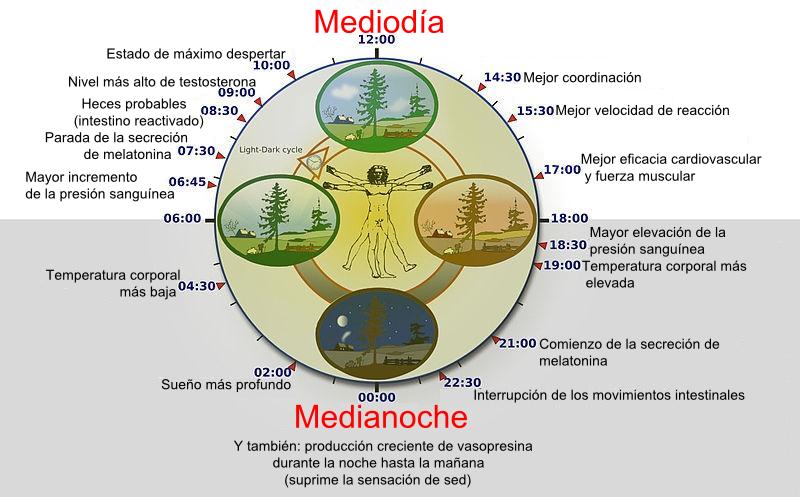 Ilustración del ritmo circadiano del ser humano.
