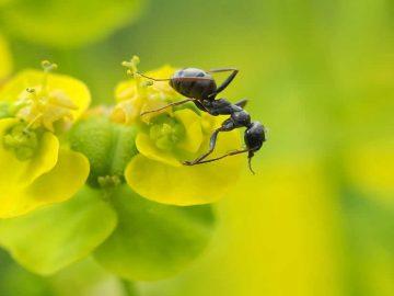 Las plantas evolucionaron para «manipular» a las hormigas
