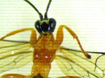 Nueva especie de avispa parasitaria convierte a las arañas en zombies