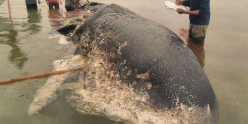 Encuentran ballena muerta con casi seis kilogramos de plástico en el estómago