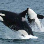 Drones revelan más de 100 ballenas atrapadas ilegalmente