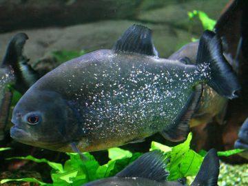 Encuentran plástico en el estómago de los peces amazónicos