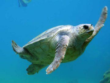 Encuentran microplásticos en 100 % de tortugas marinas examinadas