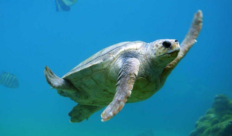 Estudio halla microplásticos en el 100% de tortugas marinas examinadas