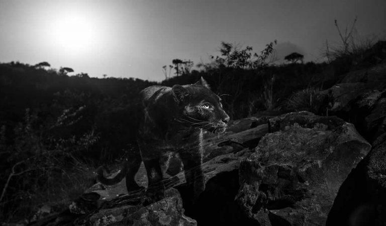 Un leopardo negro africano es fotografiado por primera vez en más de 100 años