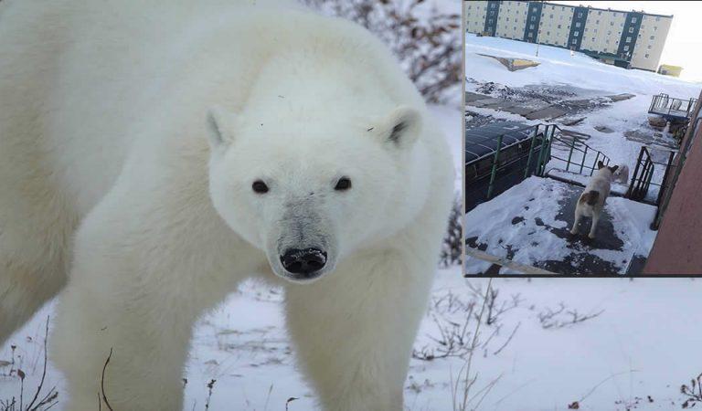 52 osos polares hambrientos invaden una ciudad rusa y se declara el estado de emergencia