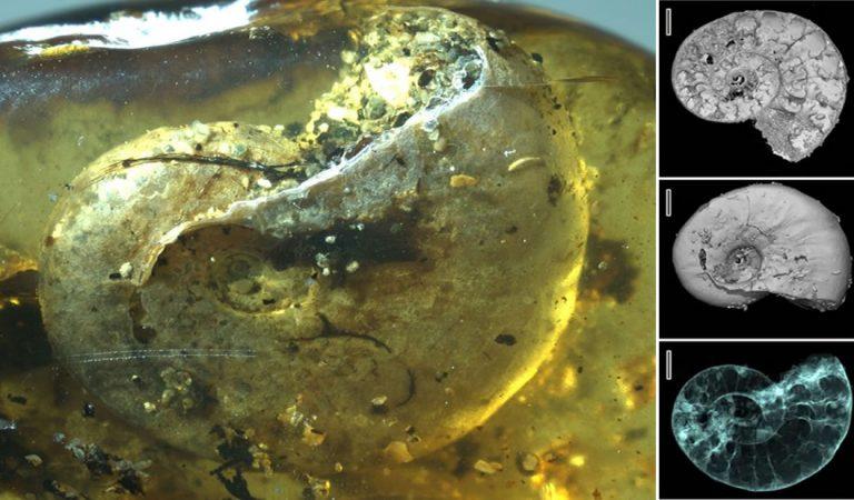 Encuentran una amonita de 99 millones de años fosilizada en ámbar