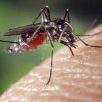 Un experimento con mosquitos modificados genéticamente en Brasil tuvo un mal resultado