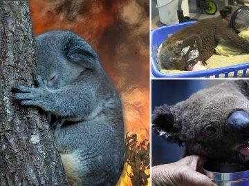 Cientos de koalas mueren por los devastadores incendios forestales de Australia