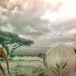 Los elefantes africanos podrían extinguirse en 20 años