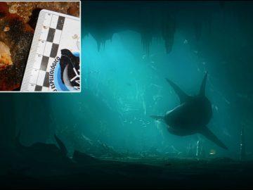Hallan dientes de megalodon en cuevas inundadas de México