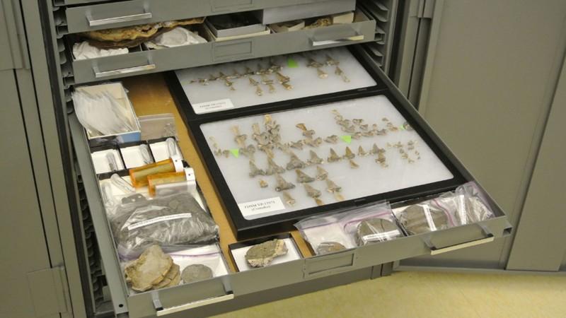 Dientes y otros restos fósiles del tiburón llamado Cretodus houghtonorum