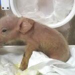Nacen los primeros híbridos de cerdo y mono en China