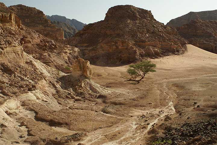 Árbol de Acacia en el desierto del Sinaí