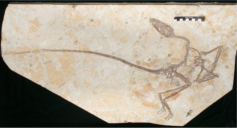 Fósil del Wulong bohaiensis