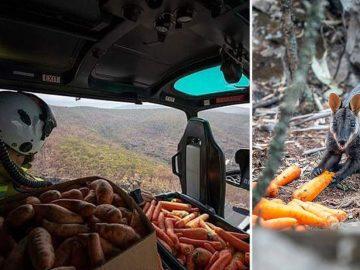 Lanzan verduras desde helicópteros en Australia para alimentar a los animales