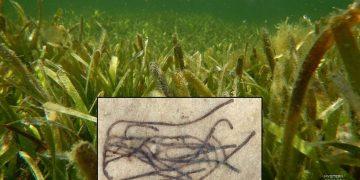 Fósil de alga de hace mil millones de años es pariente del ancestro de todas las plantas terrestres