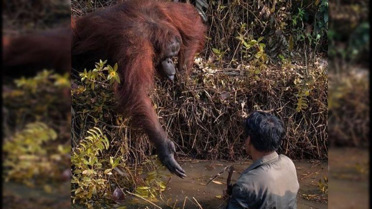 Orangután ofrece ayuda a un hombre que estaba en un río infestado de serpientes