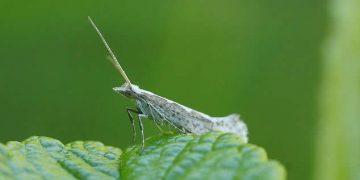 Liberan insectos modificados genéticamente en un campo abierto
