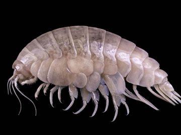 Hallan nueva especie marina en el lugar más profundo de la Tierra con plástico en su intestino
