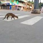 Reaparece un animal que se creía extinto durante la cuarentena en India