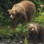 Los osos están despertando de su hibernación un mes antes de lo esperado