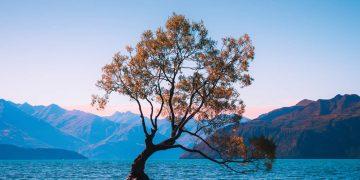 Vándalos destrozan el árbol más emblemático de Nueva Zelanda
