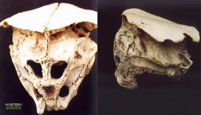 Vista del cráneo de Rhodope