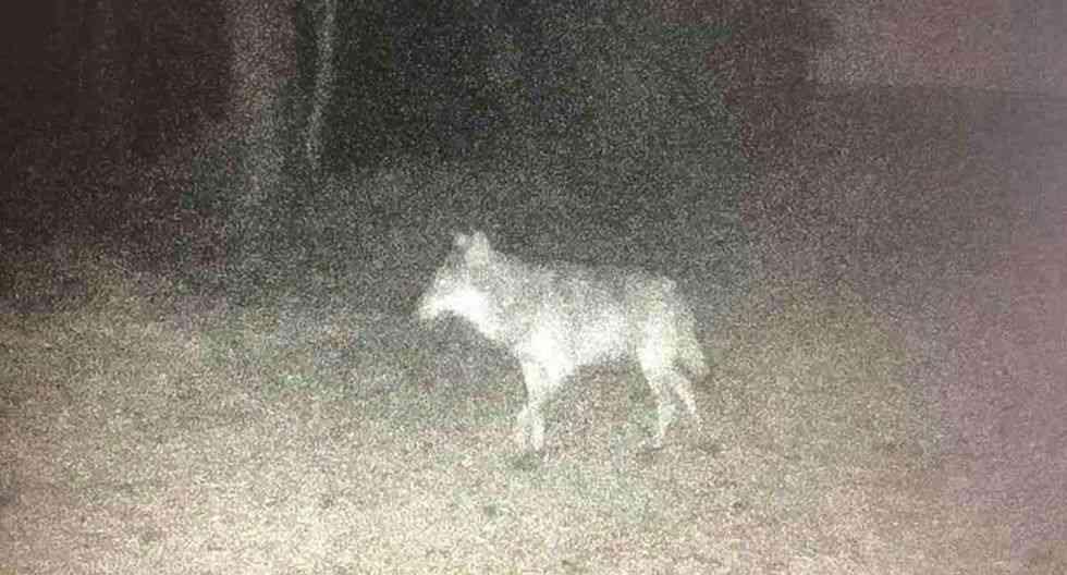 Lobo extinto visto en Francia