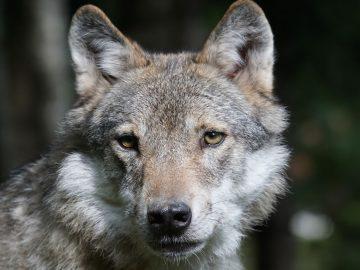 Avistan un lobo en el norte de Francia por primera vez en más de 100 años