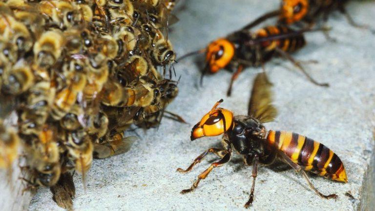 Abejas se defienden y matan un avispón gigante asiático