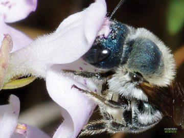 Reaparece abeja calamintha azul