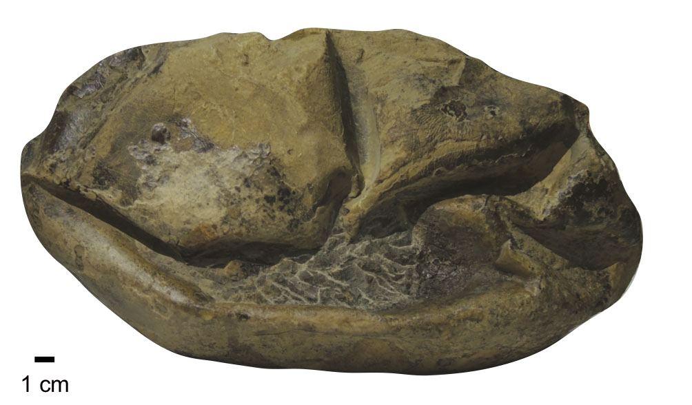 Vista lateral del fósil del huevo gigante
