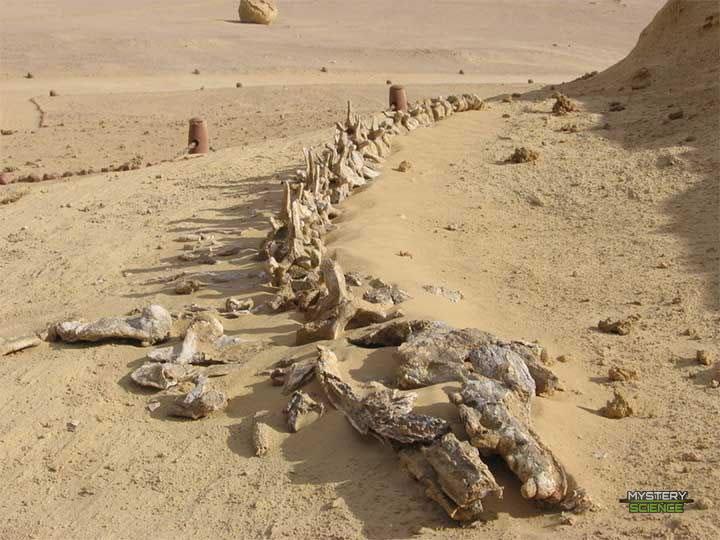 Arqueoceto Dorudon atrox de 50 millones de años