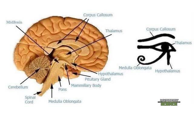 Similitudes entre las partes del cerebro humano y el Ojo de Horus