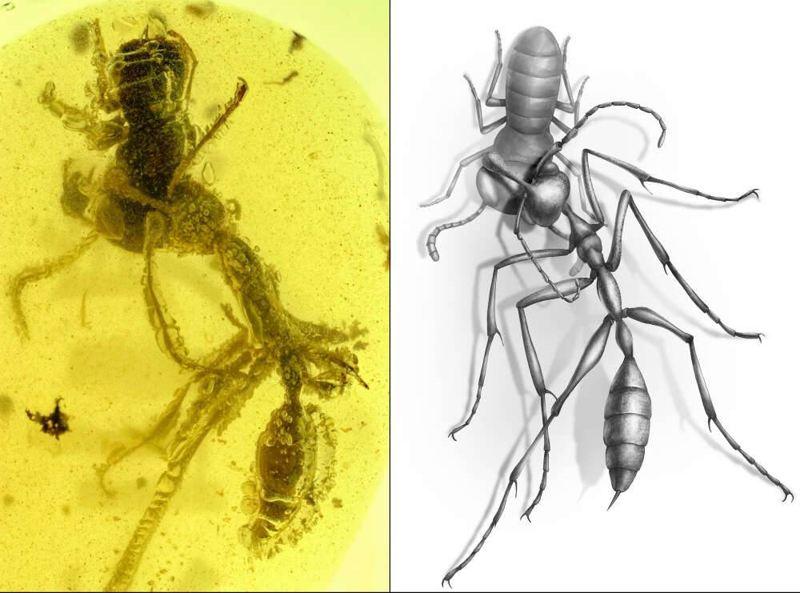 Hallan una «hormiga del infierno» atrapada en ámbar