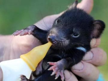 Demonio de Tasmania vuelve a Australia 3.000 años después de extinguirse