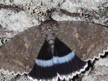 Encuentran una rara mariposa gigante en Chernóbil del tamaño de un pájaro